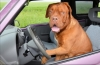 Опасности за кучетата и стопаните им в колата